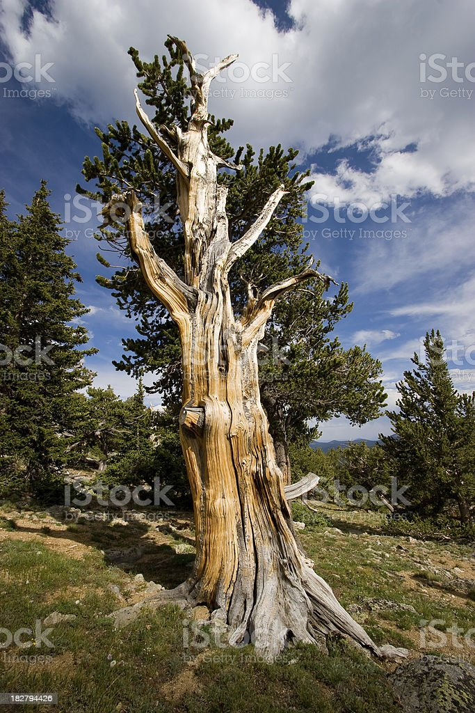 Colorado Twisted Bristlecone Pine on Mount Evans royalty-free stock photo