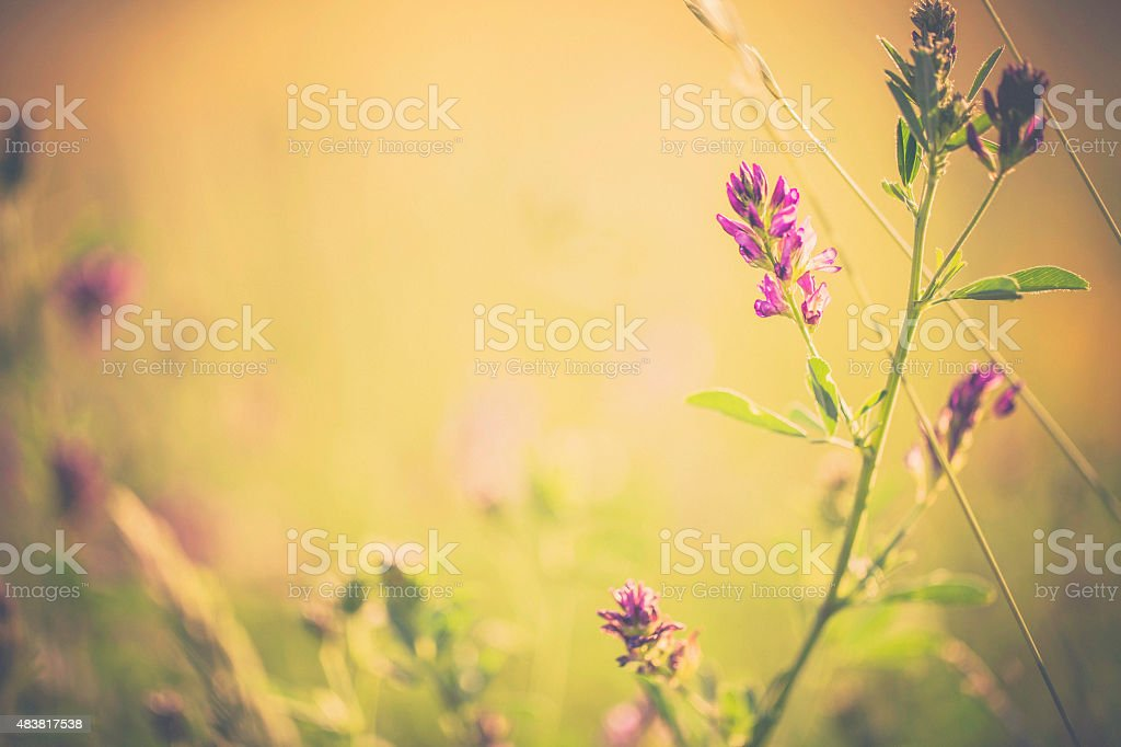 Colorado wildflowers. Red Clover plants. Nature scenics. stock photo