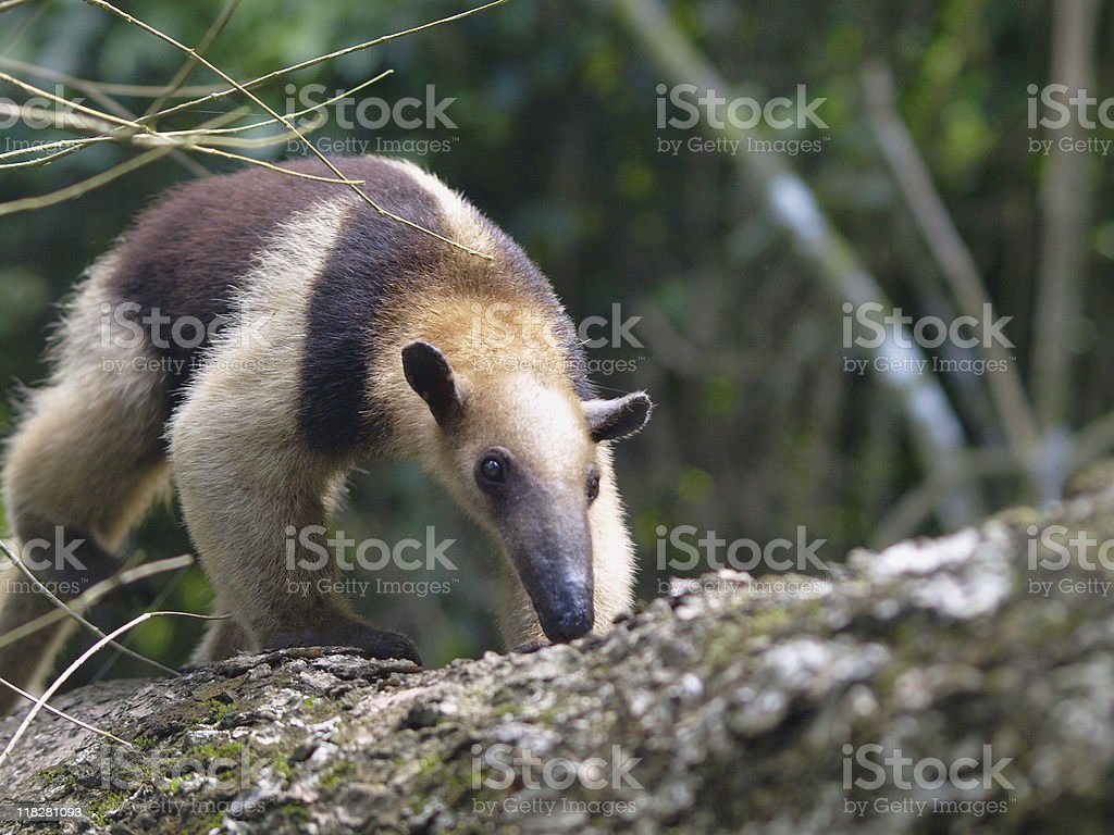 Colored Anteater royalty-free stock photo
