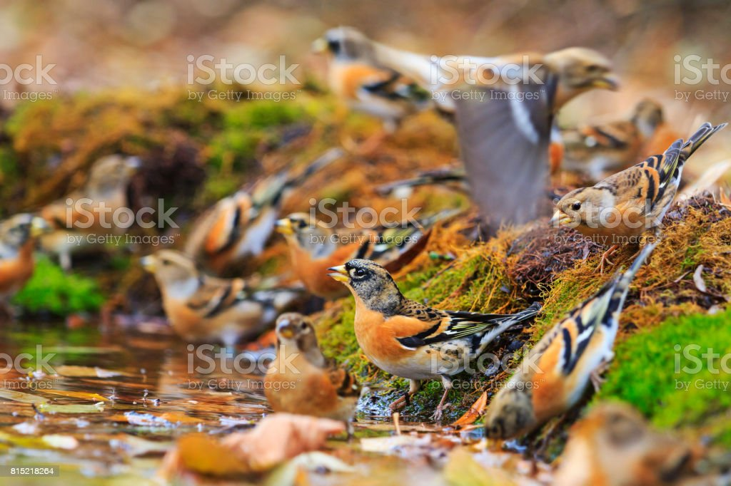Colored birds among autumn fallen leaves stock photo
