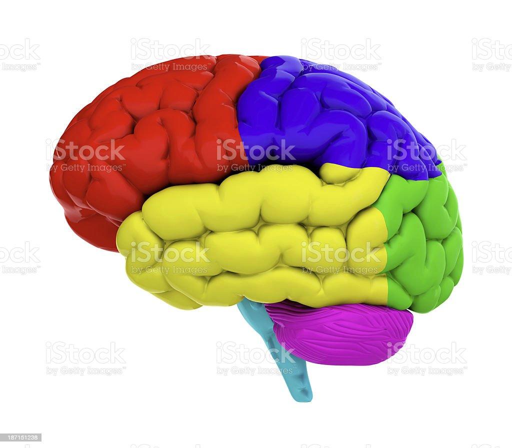 Colored brain stock photo