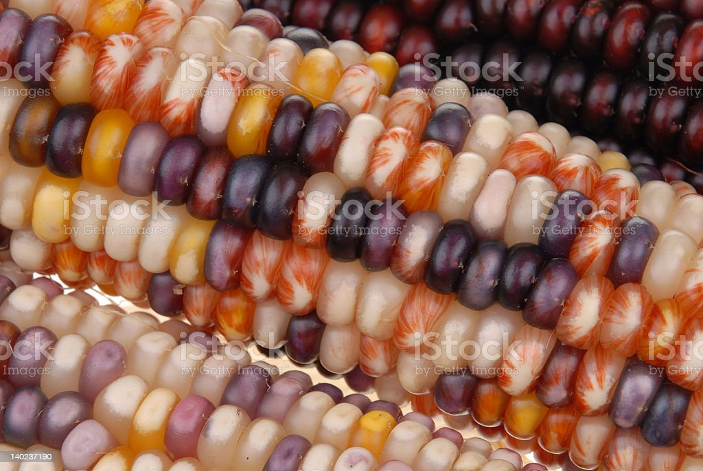 colored corn royalty-free stock photo