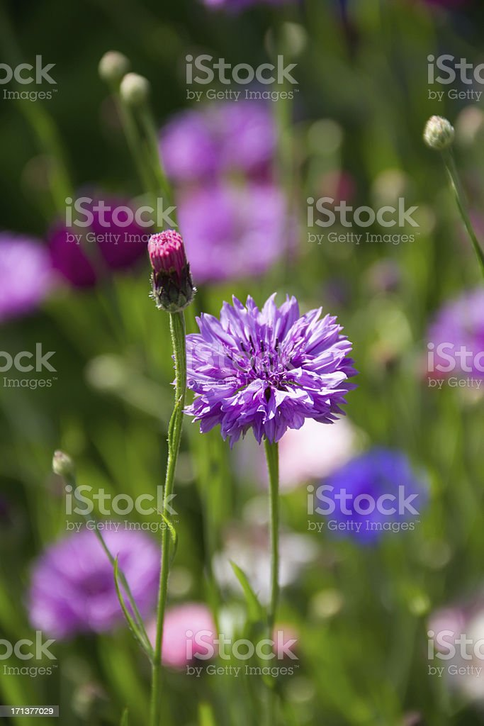 colored cornflowers royalty-free stock photo