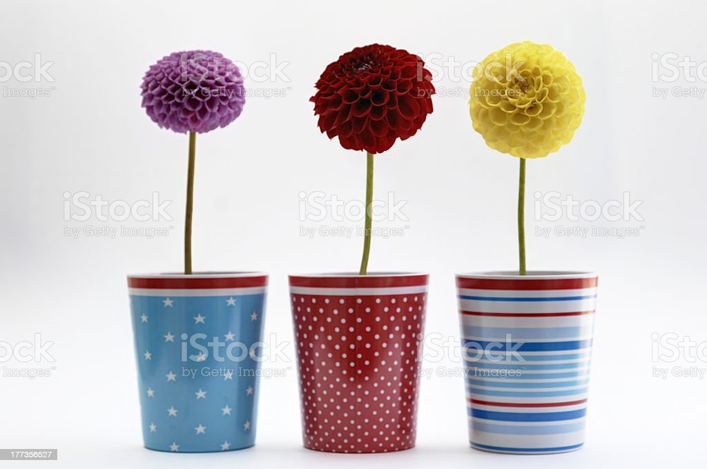 colored dahlias stock photo