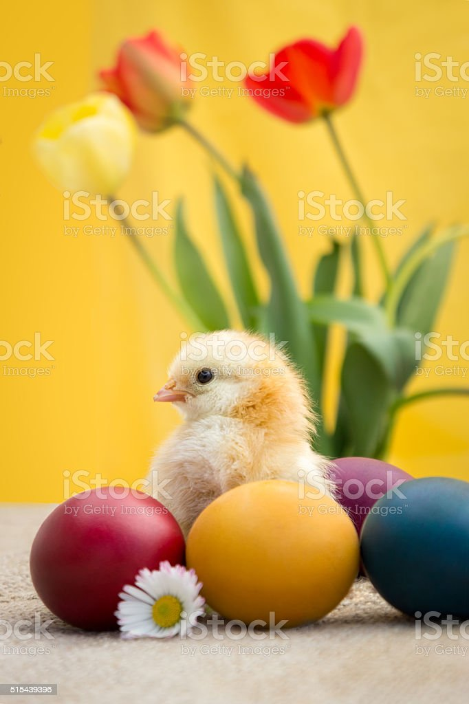 Colored Easter eggs and chicken stock photo