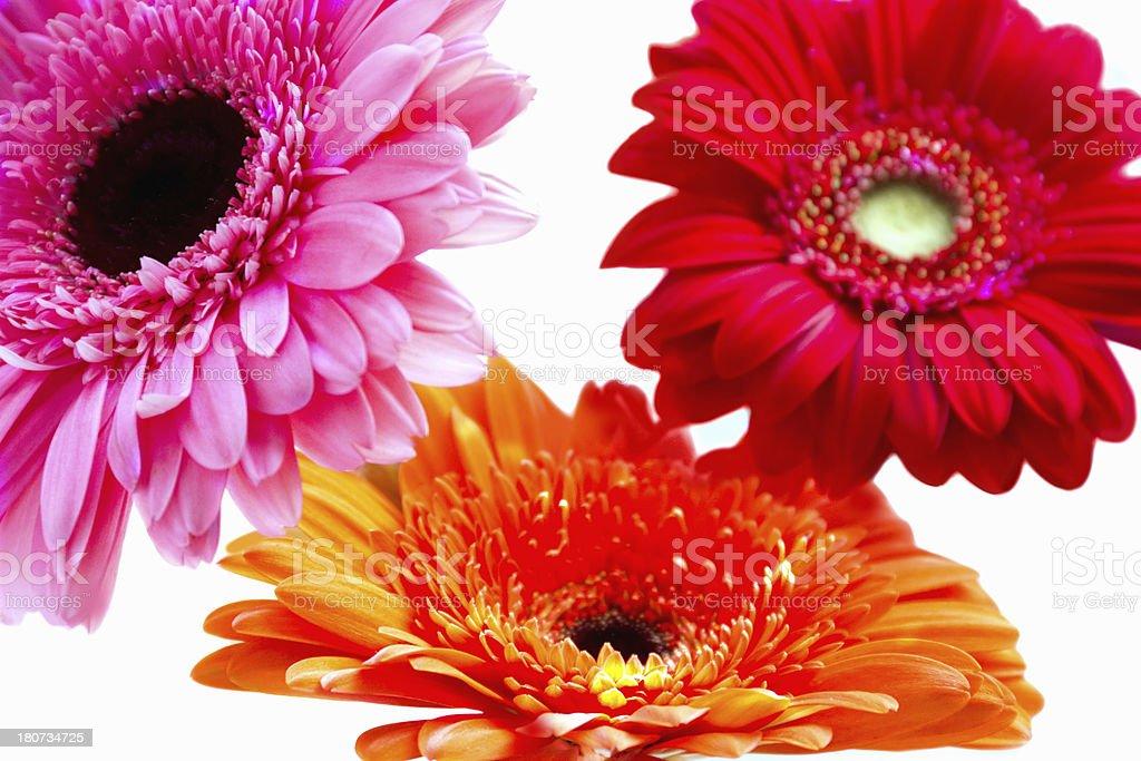 colored gerbera royalty-free stock photo