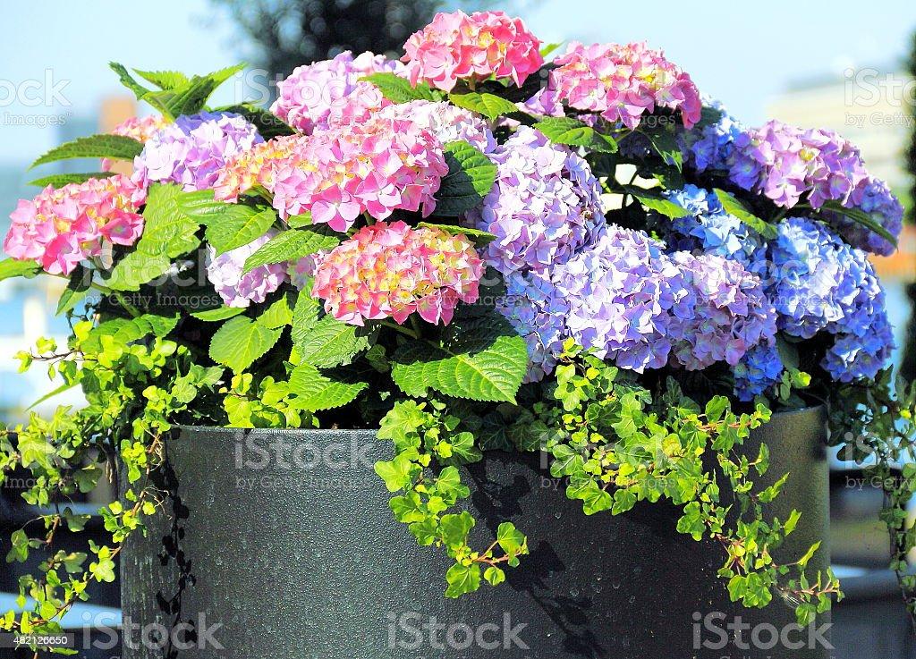 Colored Hydrangeas. stock photo