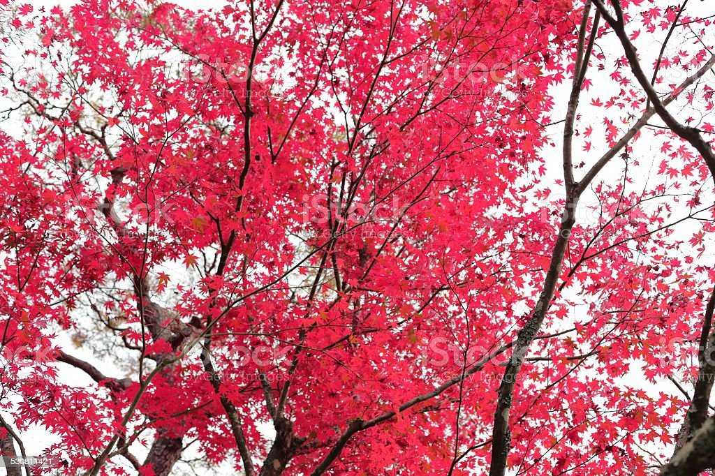 Colored leaves of Kyoto, Japan stock photo