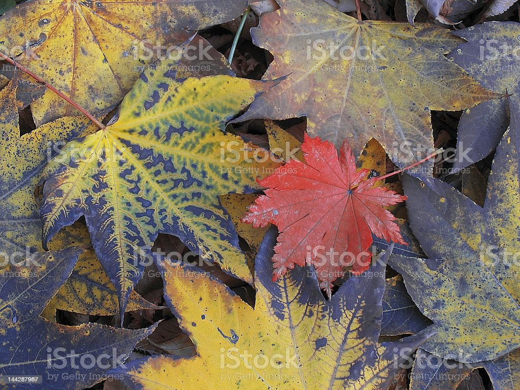 colored leaves royalty-free stock photo