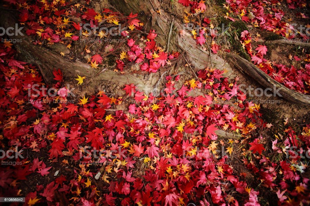Colored leaves stock photo