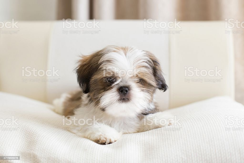 Colored shih tzu puppy on pilow stock photo