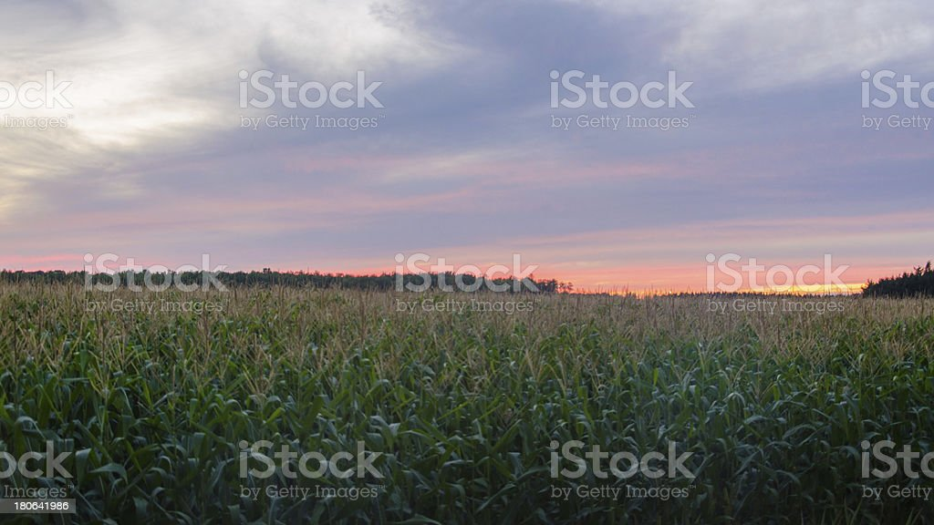 Colored Sunset over Cornfield. stock photo