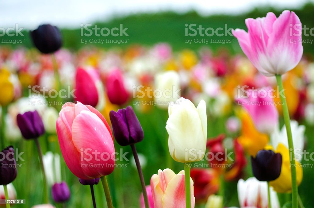 Colored tulips, ready to pick stock photo
