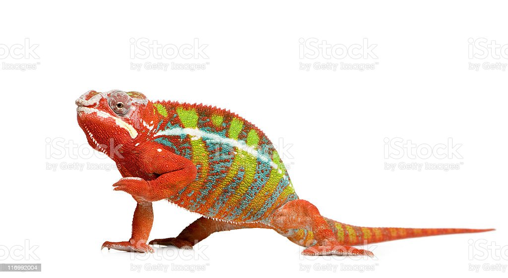 Colorful 18 month old panther chameleon raising arm stock photo