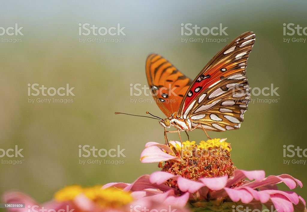 Colorful Agraulis Vanillae butterfly feeding stock photo