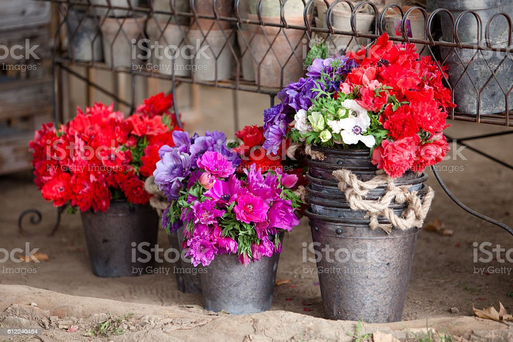 Colorful Anemones stock photo