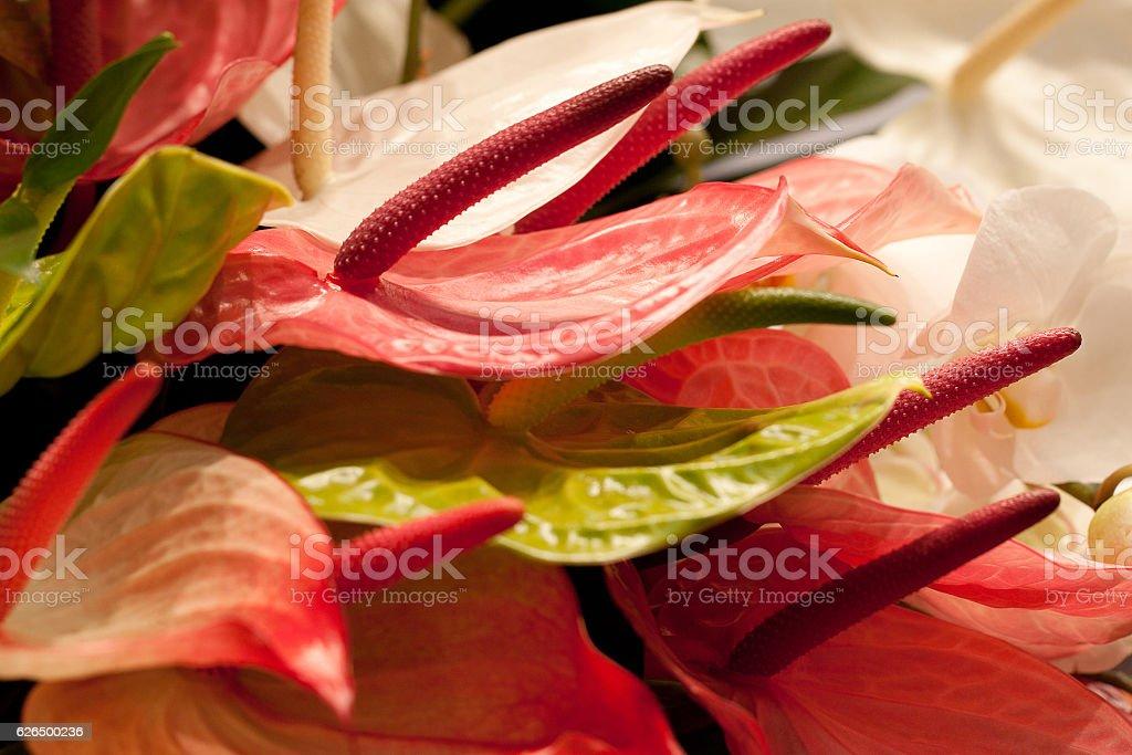colorful anthurium stock photo