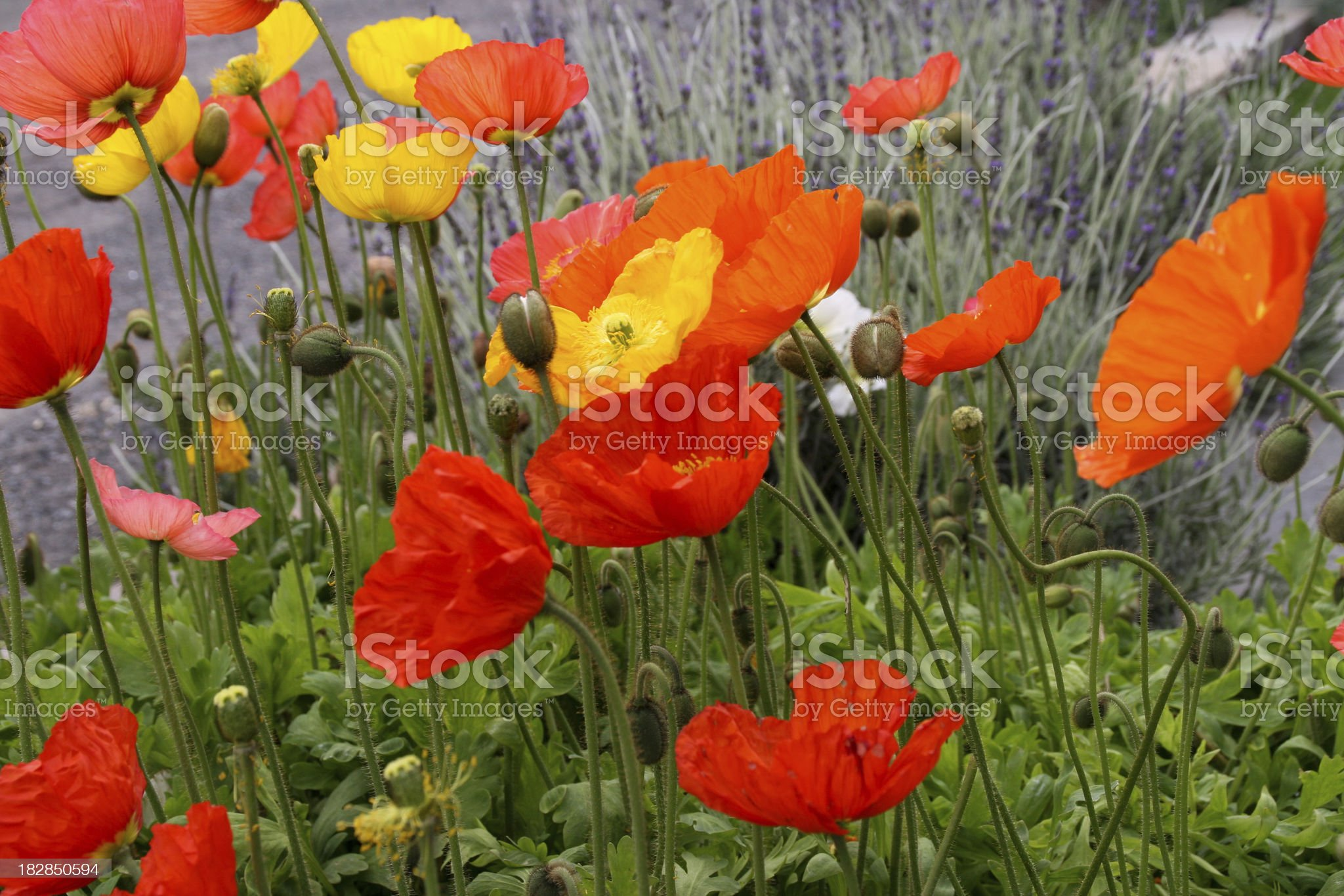 Colorful Array of Poppies royalty-free stock photo