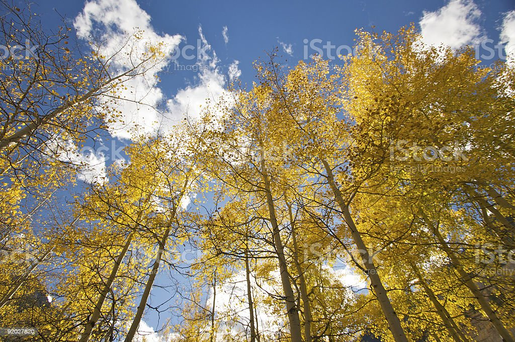 Colorful Aspen Pines royalty-free stock photo