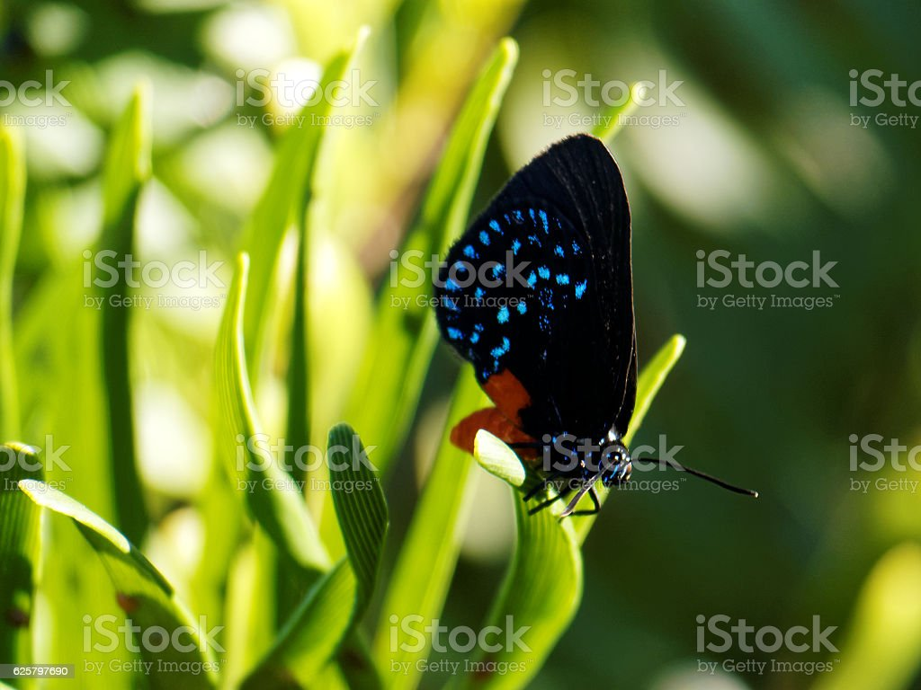 Colorful Atala Butterfly on Plant stock photo