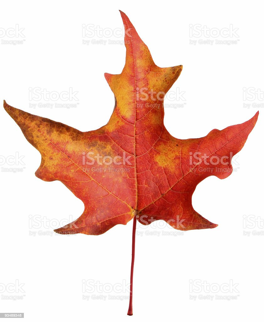 Colorful Autumn Leaf royalty-free stock photo