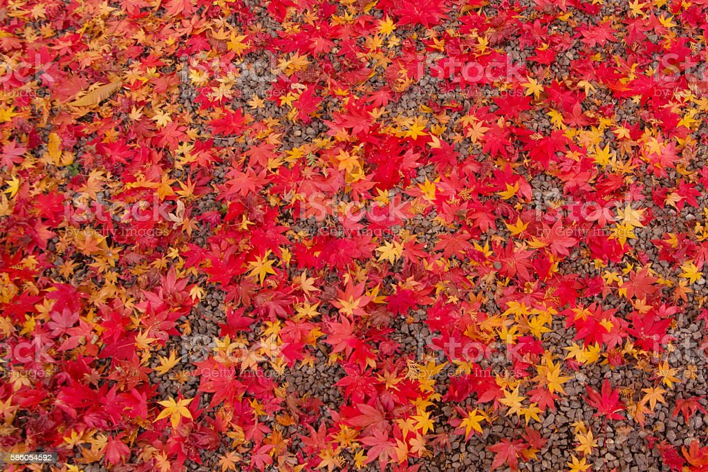 Colorful Autumn leaves in Kyoto Japan stock photo