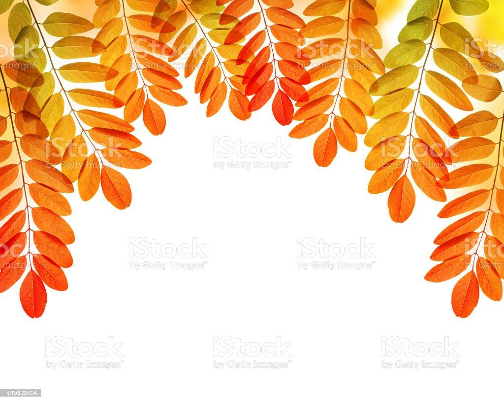Colorful autumn leaves of Acacia or Black Locust stock photo