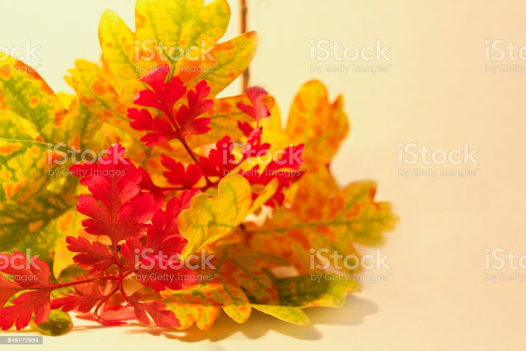 Colorful autumn leaves on white background for text stock photo