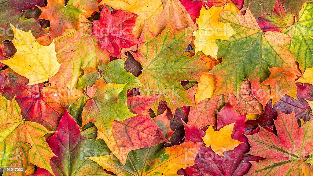 Colorful autumn leaves. stock photo