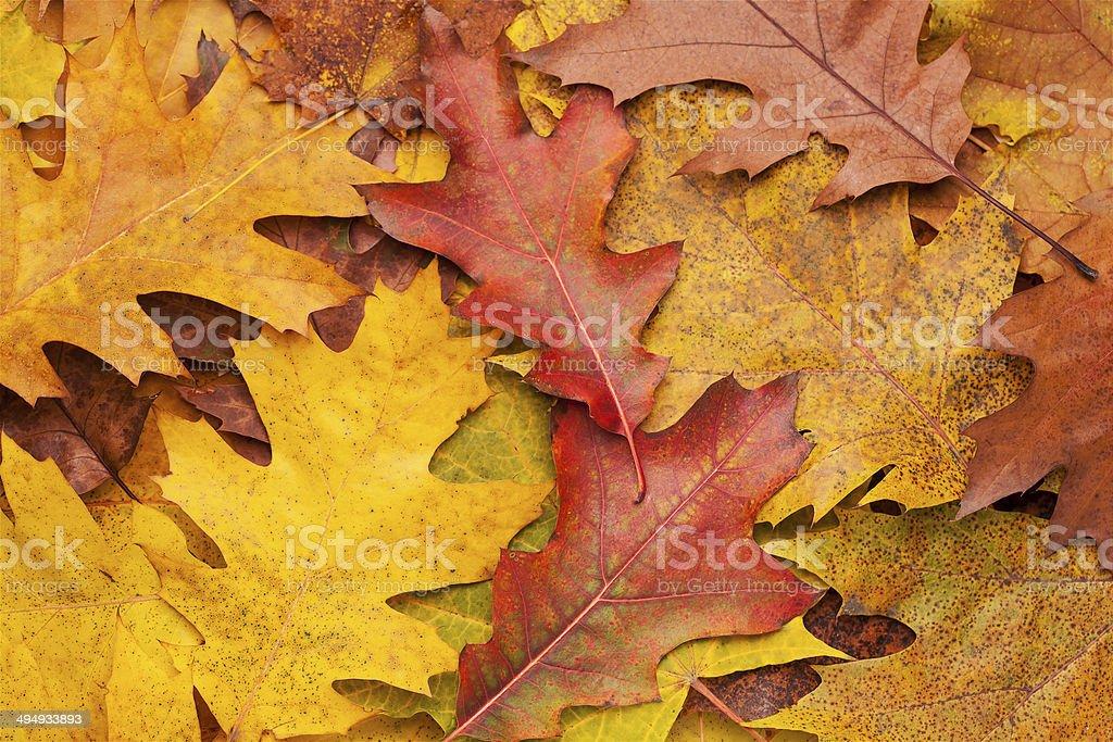 colorful autumn oak leaves stock photo
