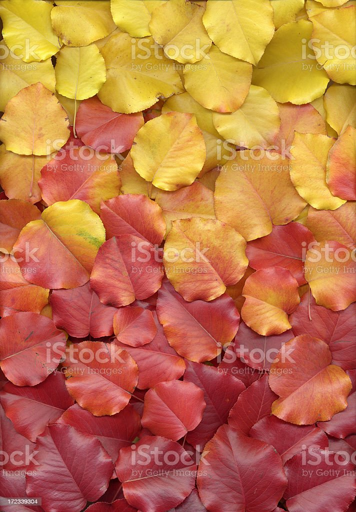 Colorful autumn pear leaves red orange yellow gradient background royalty-free stock photo
