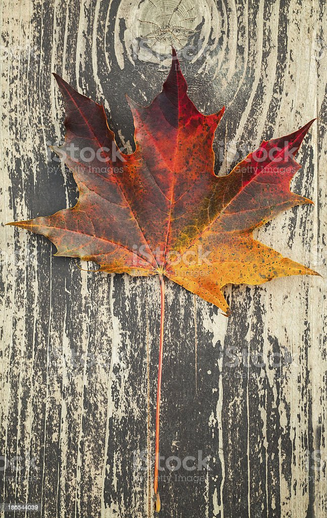 Colorful autumnal maple leaf lays on dark brown wooden surface royalty-free stock photo