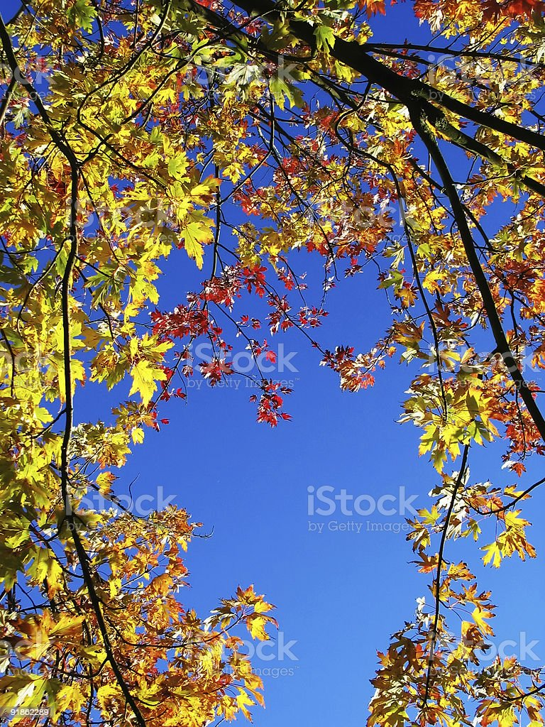 Colorful autumnleaves against a clear blue sky royalty-free stock photo
