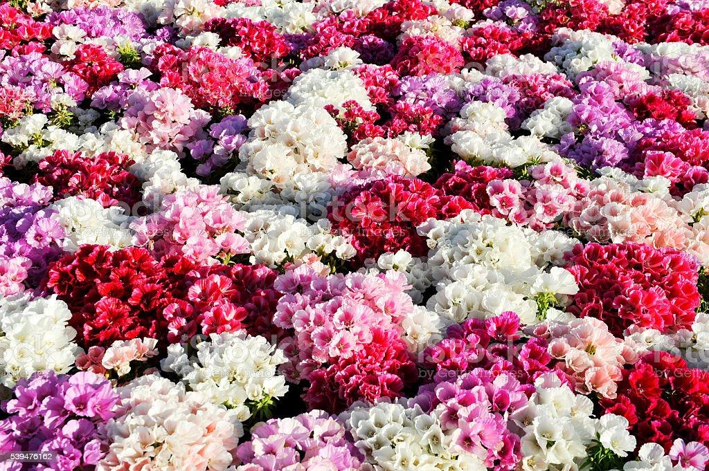 Colorful azalea background stock photo