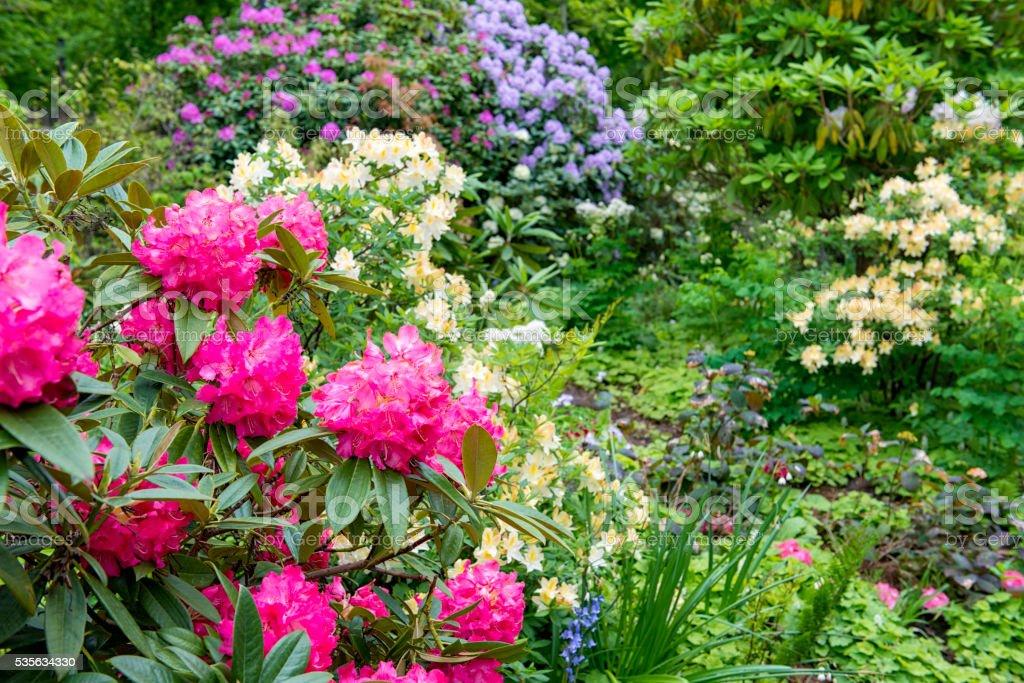 Colorful Azalea garden stock photo