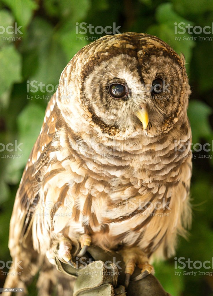 Colorful Barred Owl stock photo