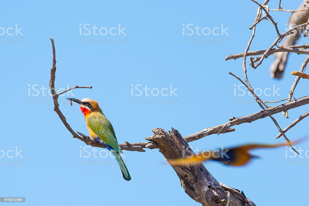 Colorful Bee Eater perched on branch, South Africa stock photo