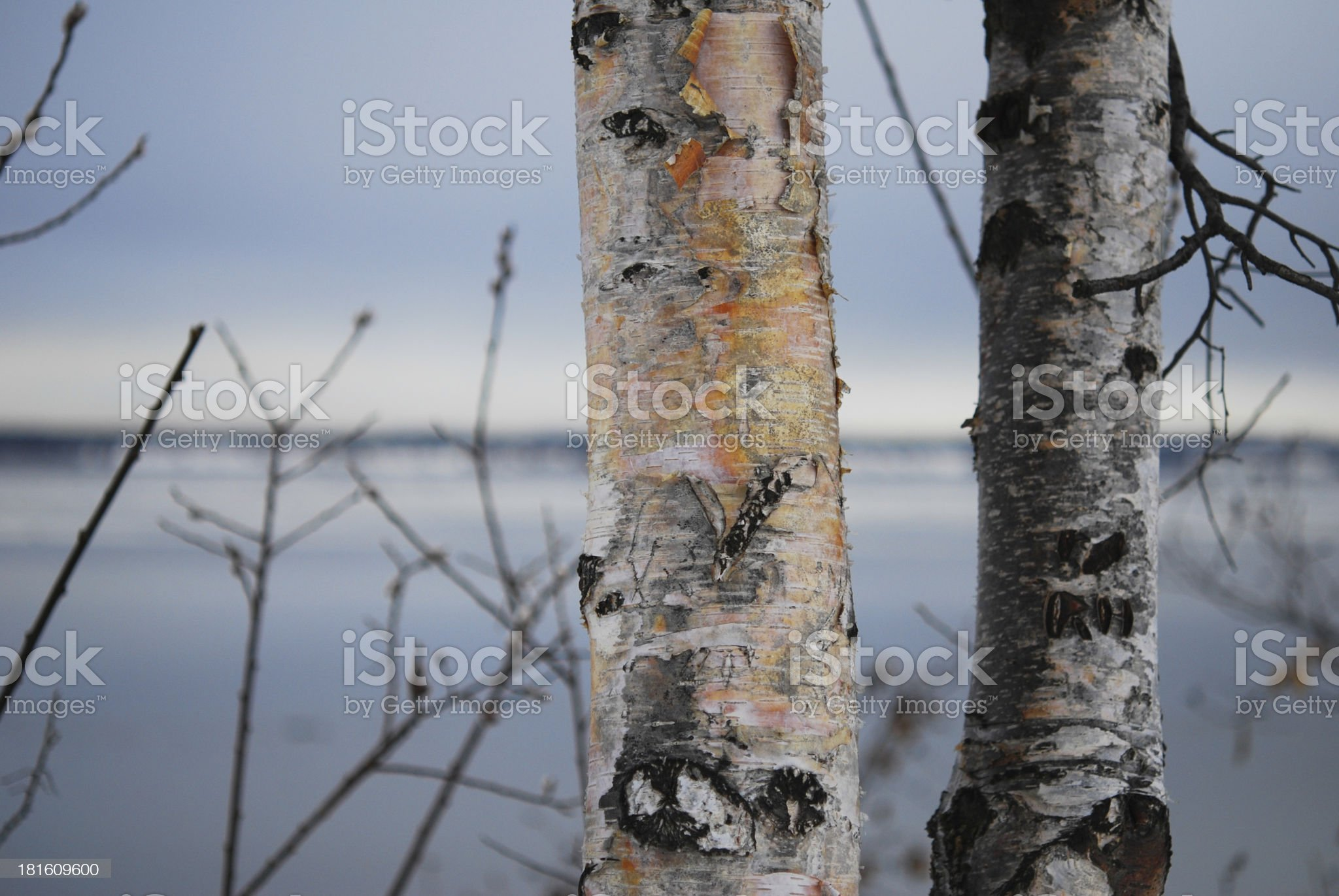 Colorful Birches on an Inlet Coast royalty-free stock photo
