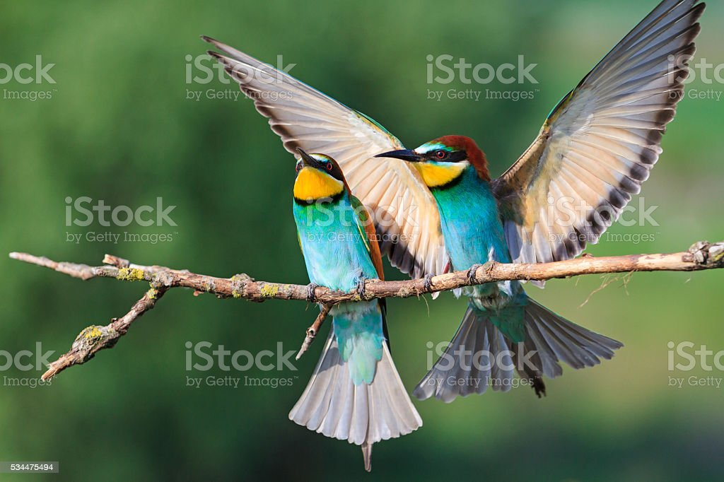 colorful bird with straightened wings stock photo