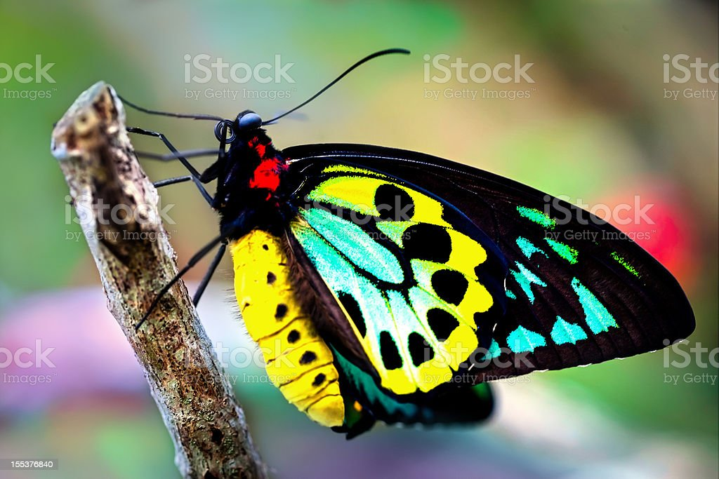 colorful birdwing butterfly (Ornithoptera priamus) stock photo