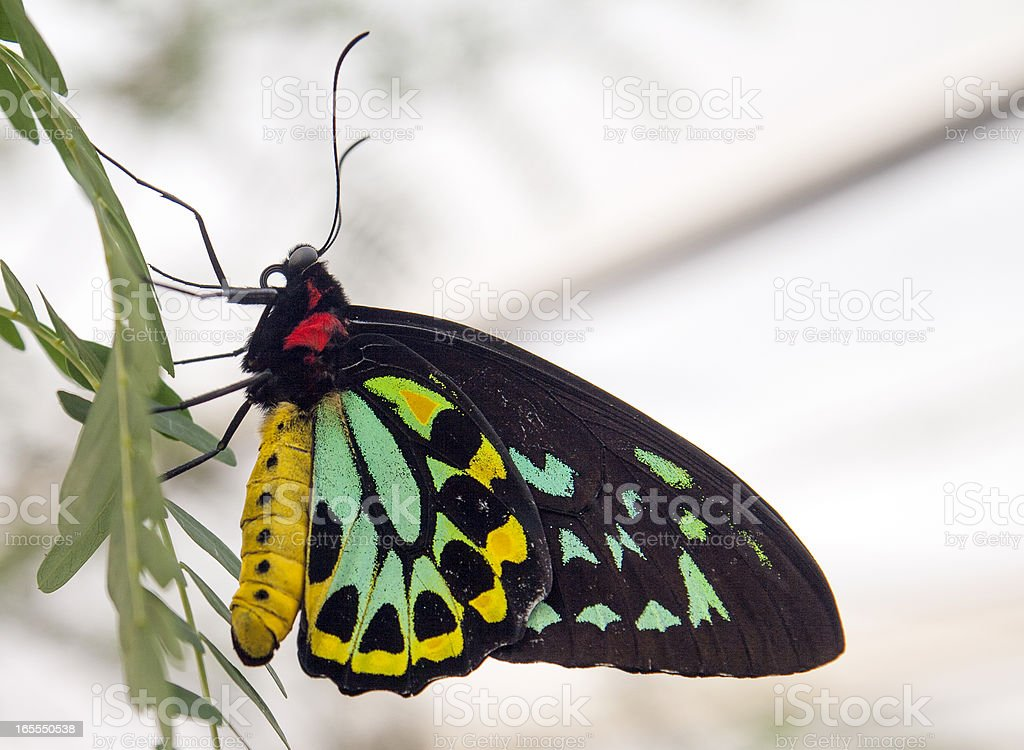 colorful birdwing butterfly royalty-free stock photo