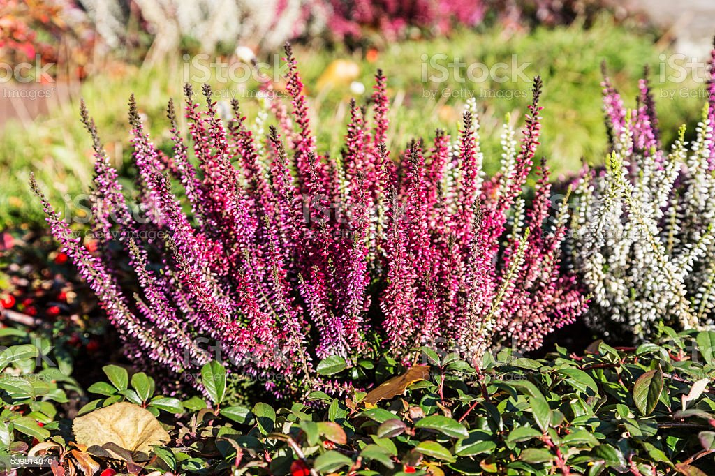 Colorful blooming heather in autumn garden stock photo