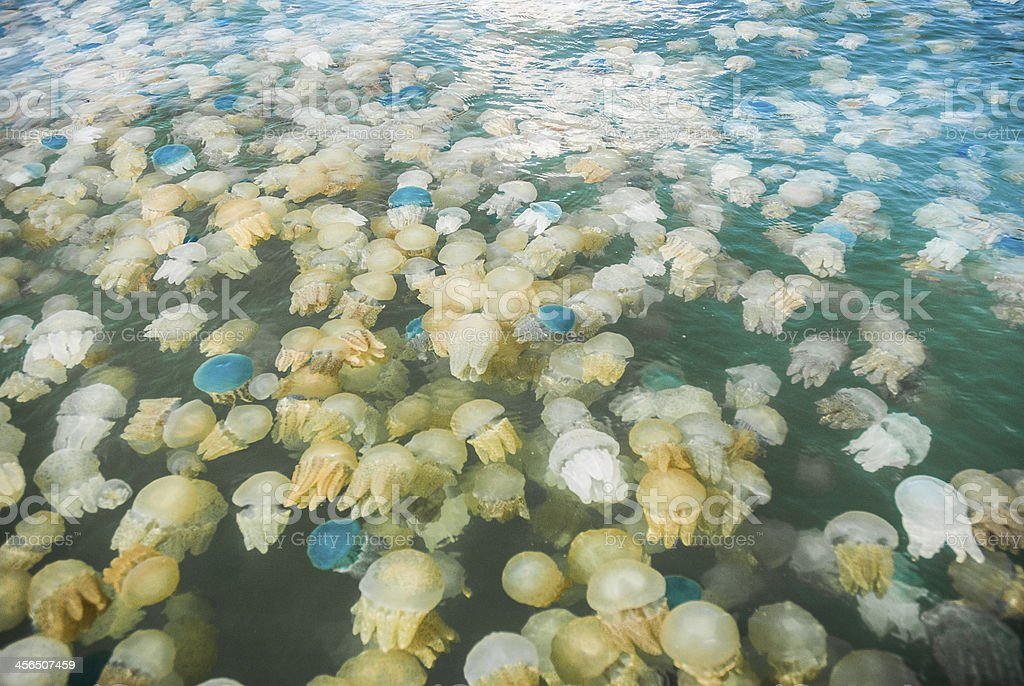 Colorful blooming jellyfish in the sea, Thailand stock photo