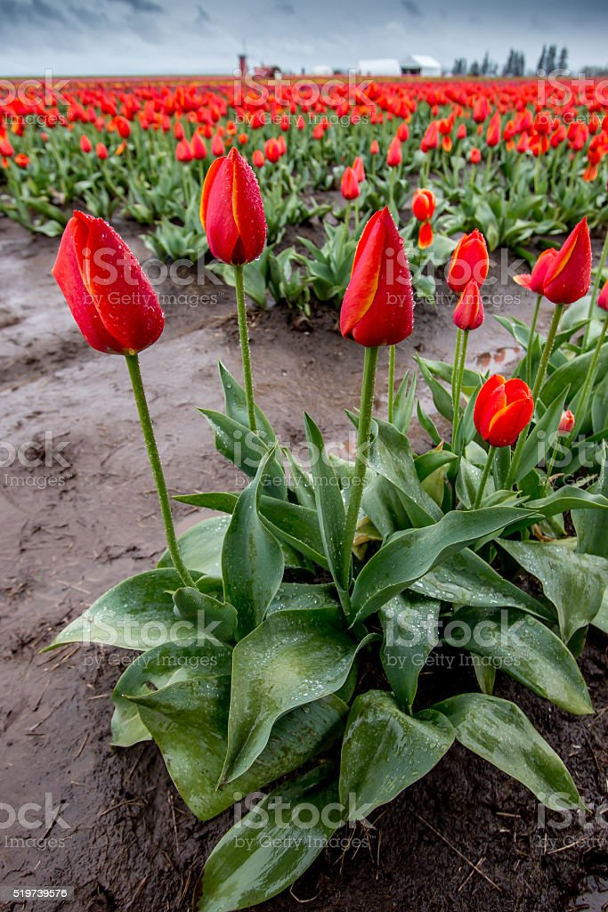 Colorful Blooming Red Tulips Portland Oregon Farm Fields Spring Flowers stock photo