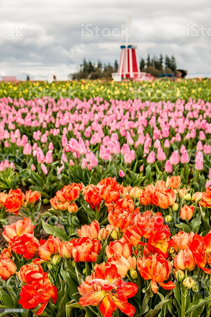 Colorful Blooming Tulips and Windmill Spring Flowers Portland Oregon stock photo