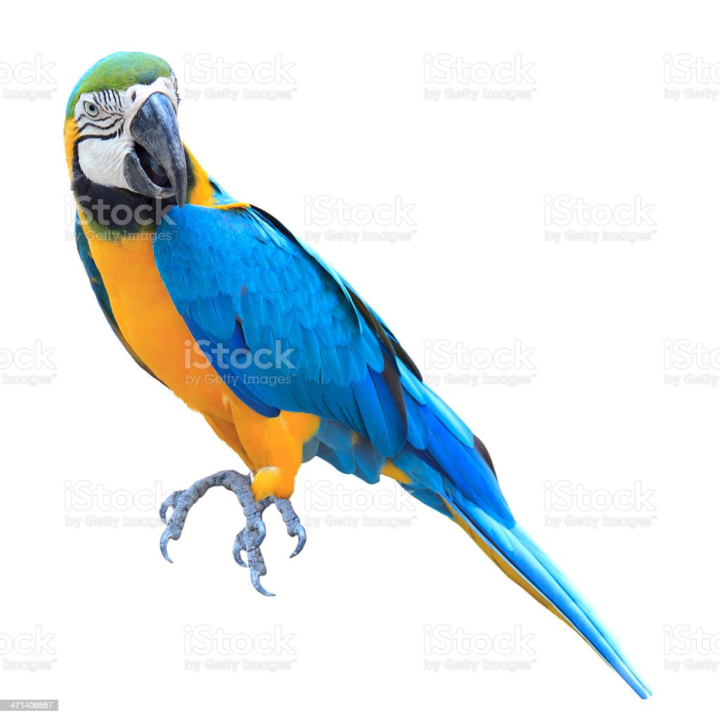 Colorful blue parrot macaw stock photo
