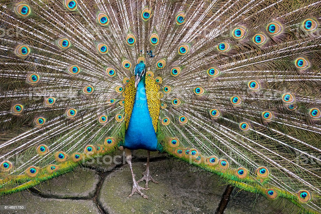 Colorful 'Blue Ribbon' Peacock in full feather at the thailand stock photo