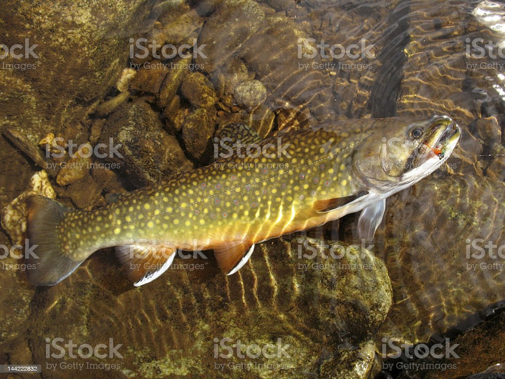 Colorful Brook Trout stock photo