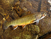 Colorful Brook Trout