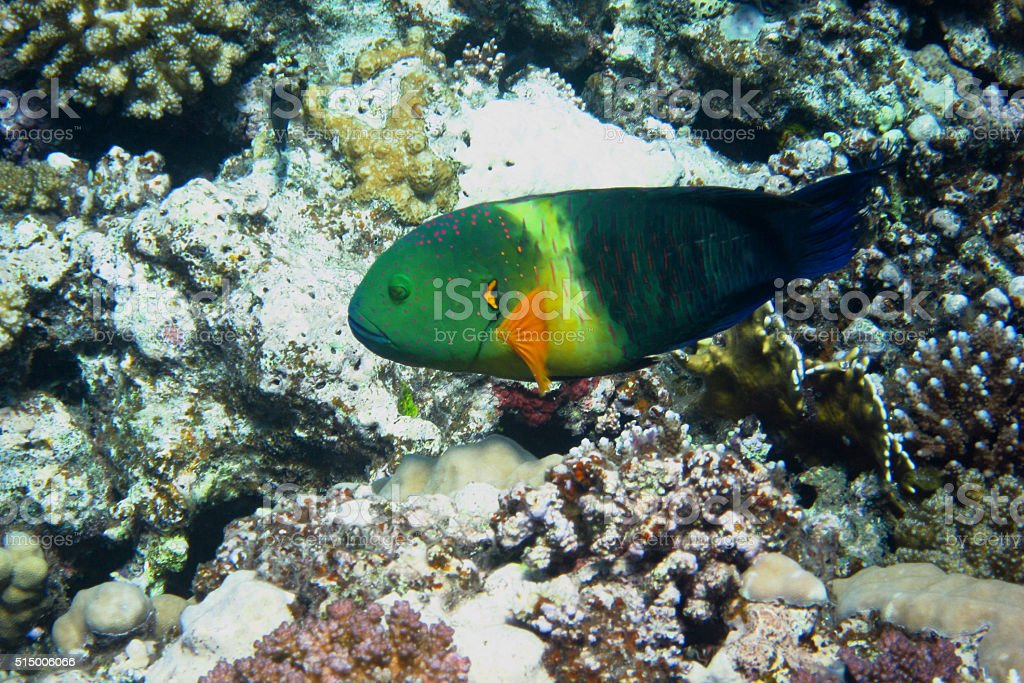 colorful Broomtail wrasse stock photo